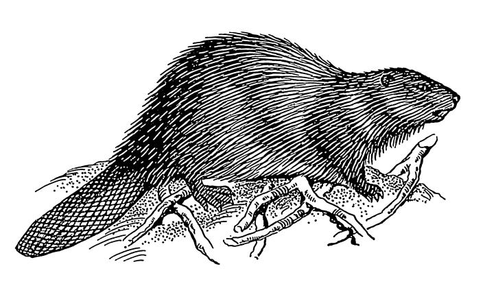Beaver_2_(PSF)